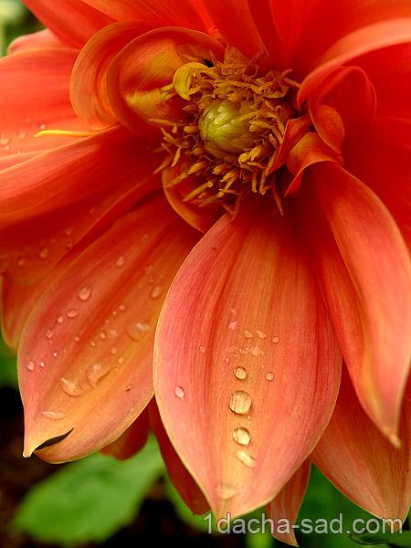 цветы георгины фото (6)