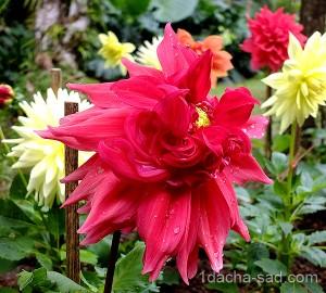 цветы георгины фото (5)
