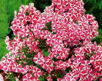 Цветущие садовые многолетники флокс 61
