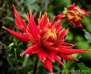цветы георгины фото (4)