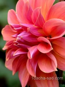 цветы георгины фото (3)