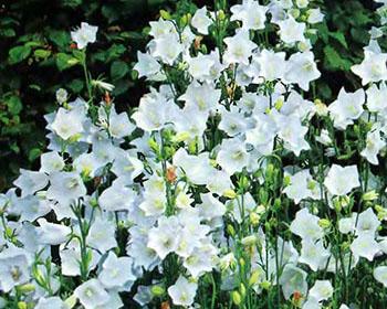Цветущие садовые многолетники колокольчики 9