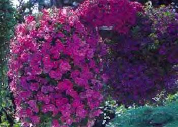 Растения и кустарники для живой изгороди 10