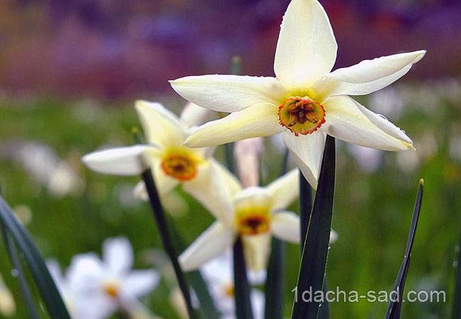 Правильная выгонка и посадка нарциссов весной 1