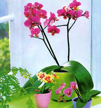 Орхидея Фаленопсис 2