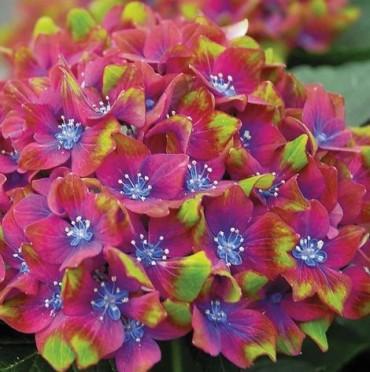 Гортензия садовая сорт Glam Rock
