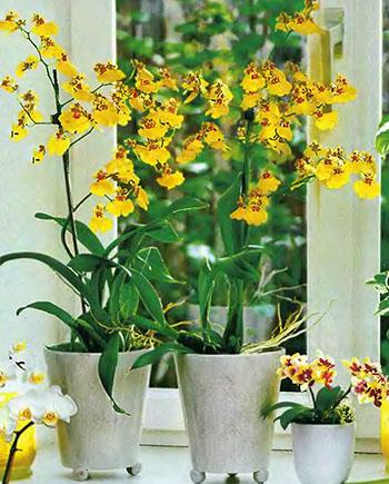 Орхидея Фаленопсис 4