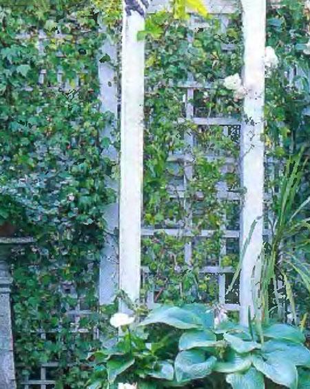Растения и кустарники для живой изгороди 5
