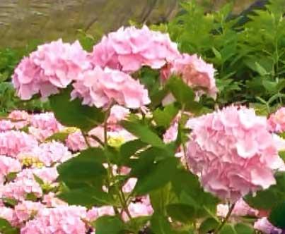 Гортензия садовая - сорт Endless Summer
