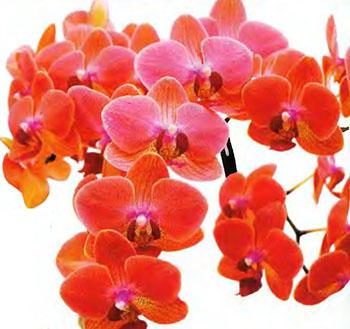 Орхидея Фаленопсис 5