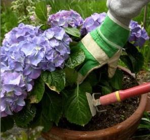 Выращивание комнатной гортензии