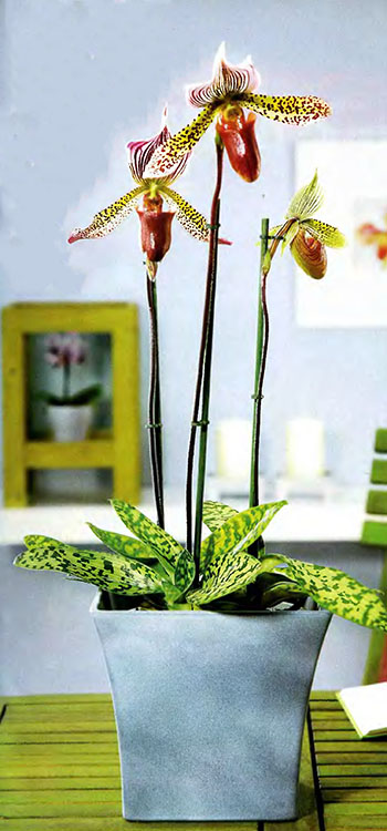 Орхидея Фаленопсис 6