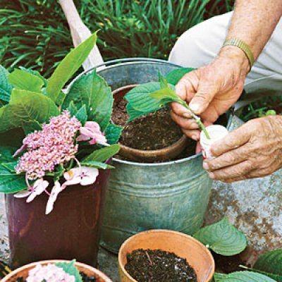 Как выращивать гортензию в домашних условиях