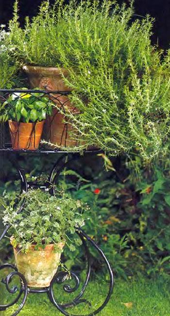 Пряные душистые травы и ароматические растения на даче 1