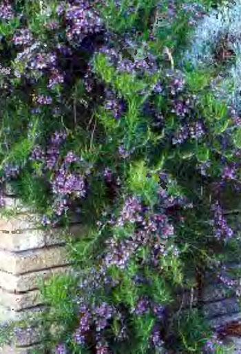 Пряные душистые травы и ароматические растения на даче 2