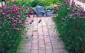 Пряные душистые травы и ароматические растения на даче 3