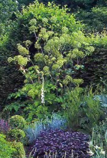 Пряные душистые травы и ароматические растения на даче 4