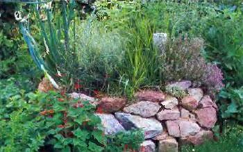 Пряные душистые травы и ароматические растения на даче 5