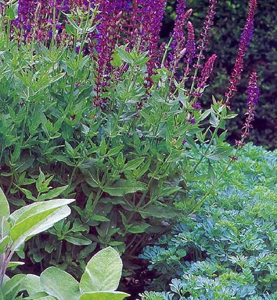 Пряные душистые травы и ароматические растения на даче 6