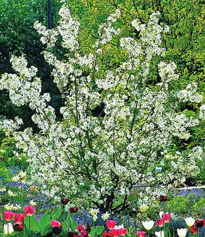 Декоративная цветущая яблоня