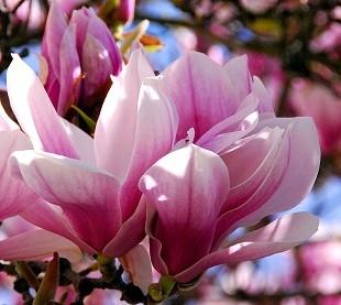 Цветки магнолии