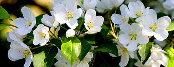 Яблони цветут 2