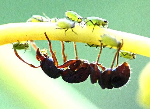 Как избавиться от садовых муравьев 2