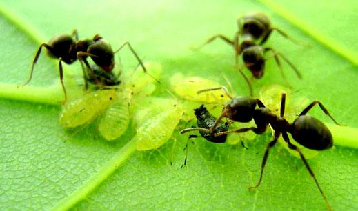 Как избавиться от садовых муравьев 4