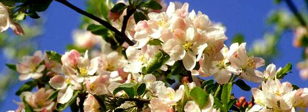 Яблони цветут 6