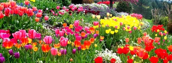 Цветущие тюльпаны 7