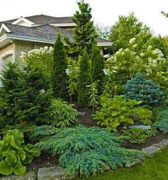 Хвойные растения на вашей даче