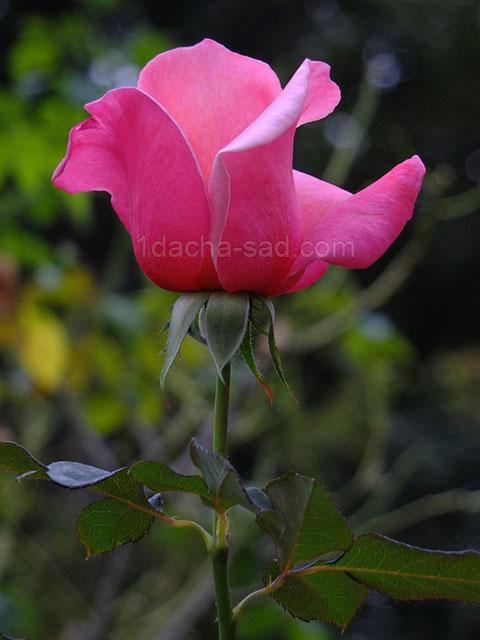 Фото шикарных роз из королевского парка 5