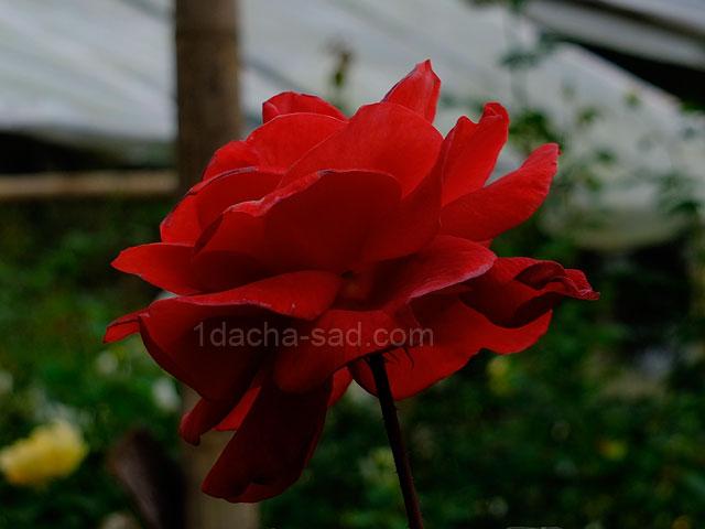 Фото красивых роз из королевского парка 6