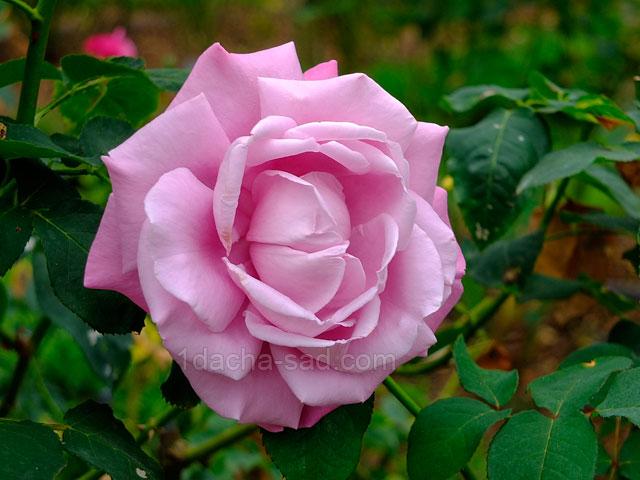 Фото красивых роз из королевского парка 9