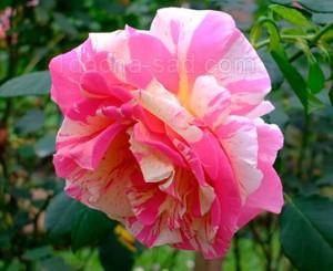 Фото красивых роз из королевского парка 11