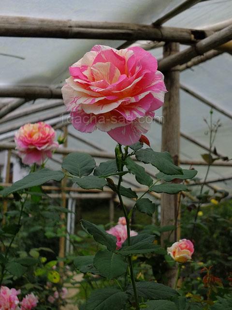 Фото шикарных роз из королевского парка 12
