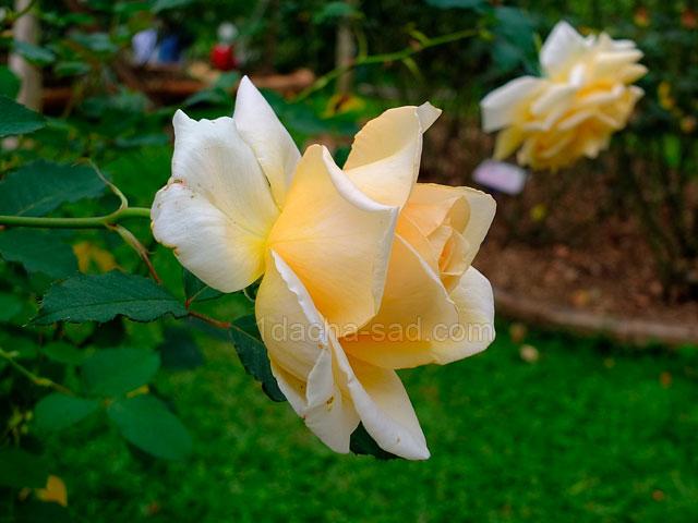 Фото шикарных роз из королевского парка 13