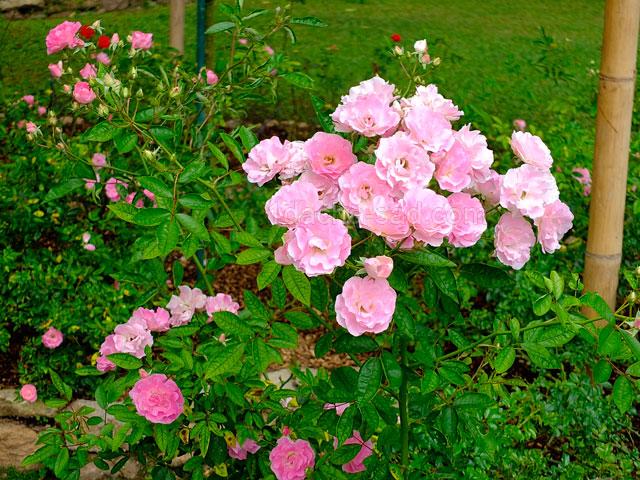 Фото шикарных роз из королевского парка 14