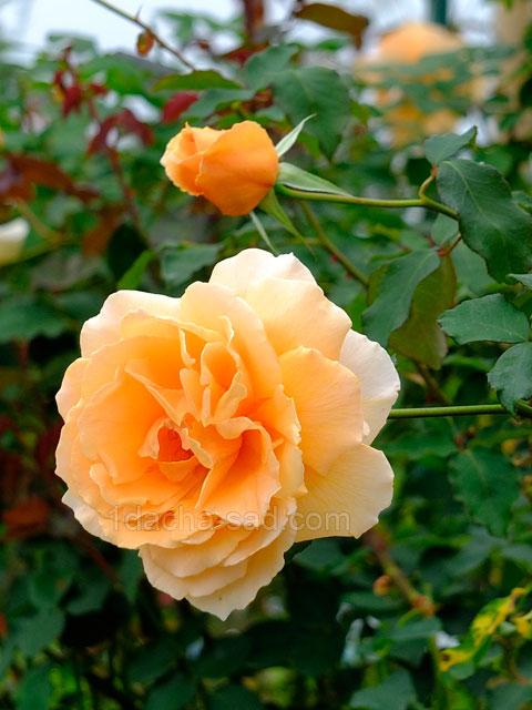 Фото шикарных роз из королевского парка 16