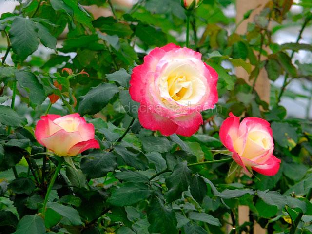 Фото шикарных роз из королевского парка 17