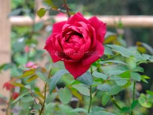 Фото красивых роз из королевского парка 19