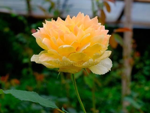 Фото шикарных роз из королевского парка 2