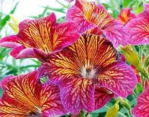 Цветок сальпиглосис