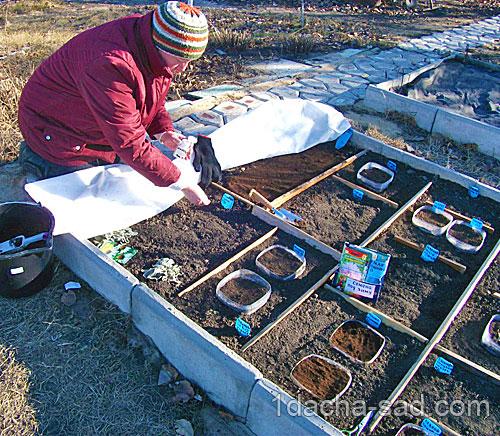 Посев эхинацеи пурпурной под зиму