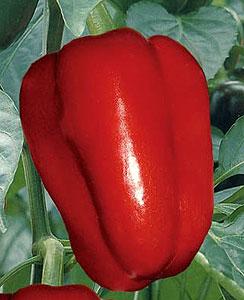 Сладкий болгарский перец Настенька