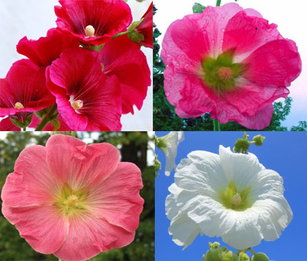 Цветок мальвы