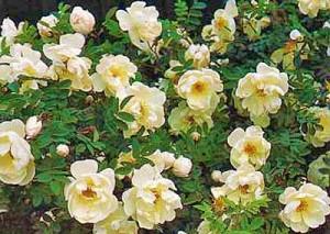 Роза морщинистая - сорт Alba