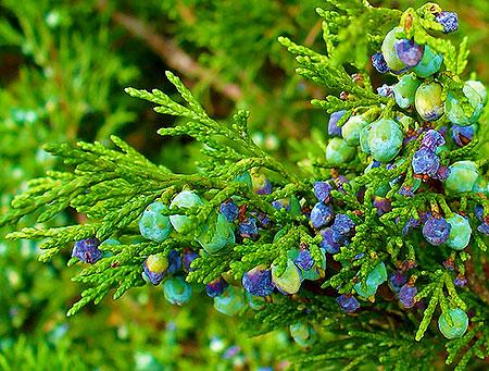 Ядовитые ягоды можжевельника
