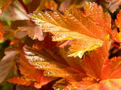 Листья пузыреплодника калинолистного