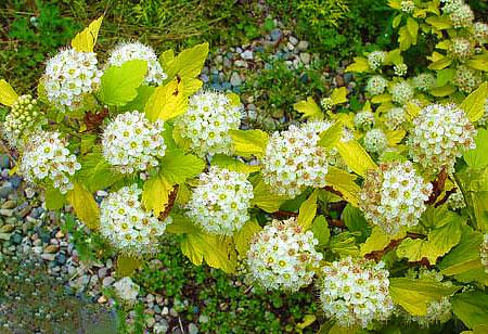 Ветка цветущего пузыреплодника